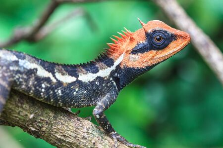 lagartija: Lagarto con cresta verde, cara negro lagarto, lagarto de árbol en árbol Foto de archivo