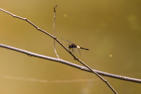 purae: Dragonfly on a branch in tropical forest Stock Photo