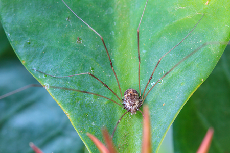 longlegs: Harvestman spider or daddy longlegs close up on tree in forest Stock Photo
