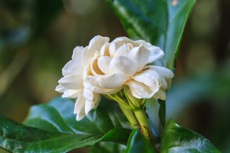 tree jasmine: Arabian jasmine (Jasminum sambac) flower on tree in the garden