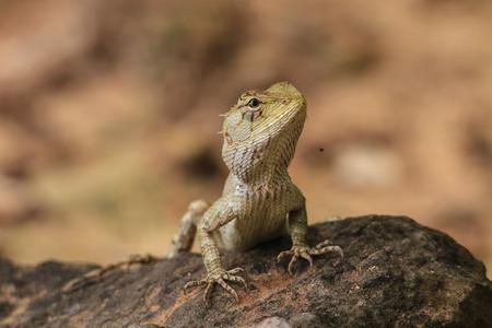 jaszczurka: Zielona grzywacz jaszczurka, czarna twarz jaszczurka, drzewo jaszczurka