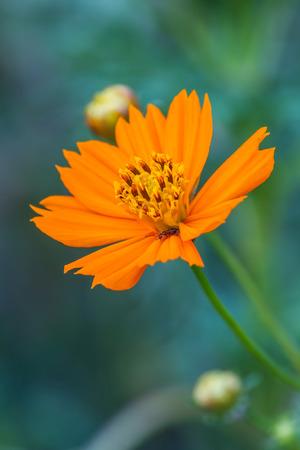 garden marigold: Marigold  flowers field, summer in garden Thailand