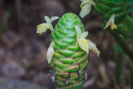 ginger flower plant: Red pine cone ginger in the gardens (Zingiber zerumbet)