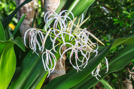 spider lily: Crinum Lily flower or Cape Lily, Spider Lily, Poison Bulb