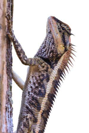 jaszczurka: Większa jaszczurki spiny, Acanthosaura armata, czarny twarzy jaszczurka, zamaskowany Sceloporus, drzewo jaszczurka na białym tle Zdjęcie Seryjne