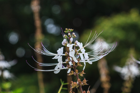 bigodes: Cats whiskers flowers or  Orthosiphon stamineus, in the garden