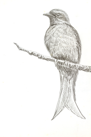 ashy: The original drawing of birds on white paper, Ashy Drongo