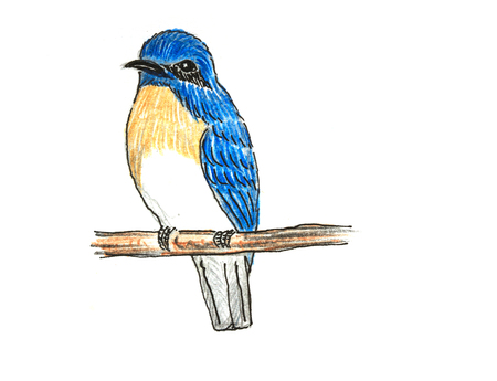 The original drawing of birds on white paper,Blue-throated Flycatcher Stock Photo