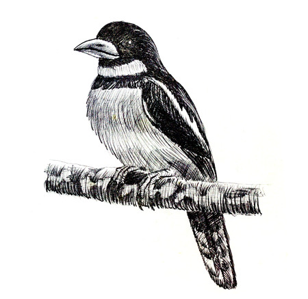 white fly: The original drawing of birds on white paper,  Black-and-red Broadbill
