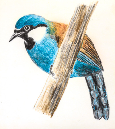 laughingthrush: The original drawing of birds on white paper,  Black-throated Laughingthrush