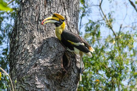 strikingly: Bird in nature, Great Hornbill perching on a branch Stock Photo