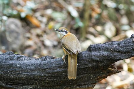 laughingthrush: Greater Necklaced Laughingthrush (Garrulax pectoralis) in nature Stock Photo