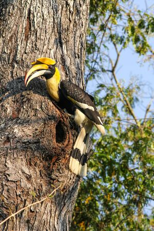 casque: Bird in nature, Great Hornbill perching on a branch Stock Photo