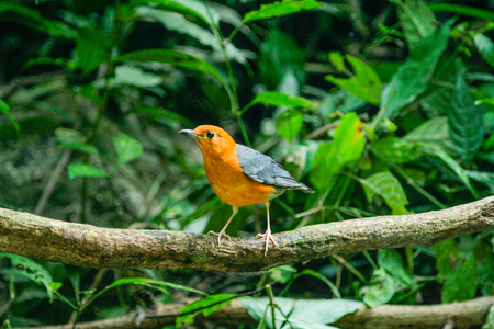 thrush: Orange-headed Thrush bird in nature perching on a branch Stock Photo