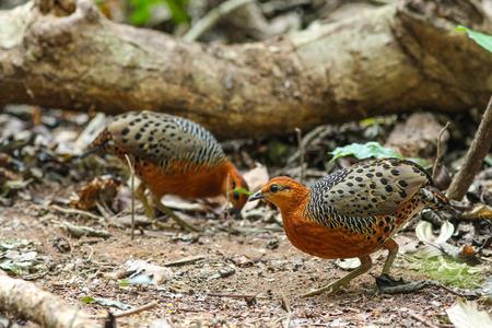 ferruginous: Ferruginous Partridge(Caloperdix oculea) in the forest