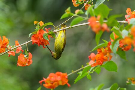 simplex: Portrait of Plain Sunbird(Anthreptes simplex) with the flower in nature