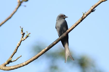 ashy: beautiful ashy drongo (Dicrurus leucophaeus)  perching on a branch