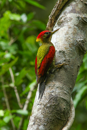 vittatus: Laced Woodpecker (Picus vittatus) on the tree in forest Stock Photo