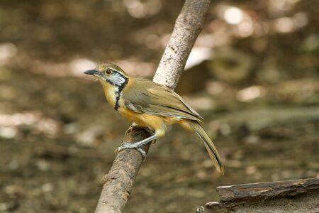 garrulax: Greater Necklaced Laughingthrush (Garrulax pectoralis) in nature Stock Photo