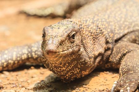 jaszczurka: bliska Bengal Monitor Lizard w lesie, Varanus bengalensis