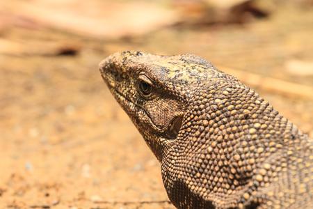bengalensis: close up Bengal Monitor Lizard in the forest, Varanus bengalensis