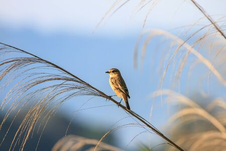perched: Stonechat female perched on plant in nature