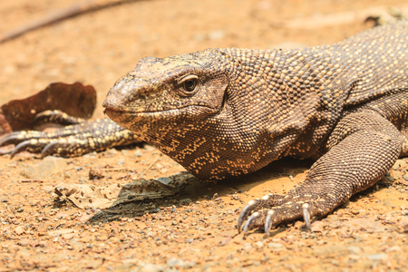close up Bengal Monitor Lizard in the forest, Varanus bengalensis Stock Photo