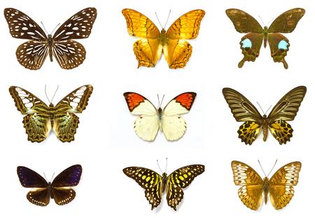 mariposas amarillas: Colección de la mariposa, de la mariposa especímenes en el laboratorio