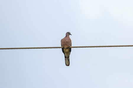 colum: Spotted Dove on power lines over clear sky