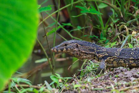 cruel zoo: water monitor lizard (varanus salvator) in forest