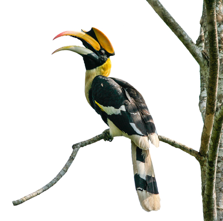 Bird in nature, Great Hornbill perching  a branch isolate on white background Ilustração