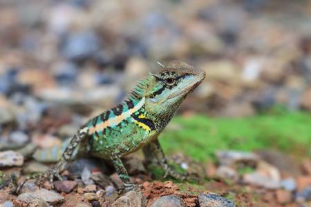 jaszczurka: Zielona grzebieniasta jaszczurka, czarna twarz jaszczurka, jaszczurka drzewo na ziemi Zdjęcie Seryjne