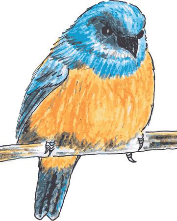 bird drawing: Orange-bellied Flowerpecker bird drawing vector Illustration