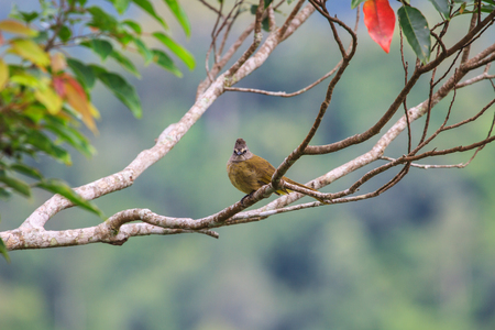 flavescens: beautiful flavescent bulbul (Pycnonotus flavescens) in tropical forest