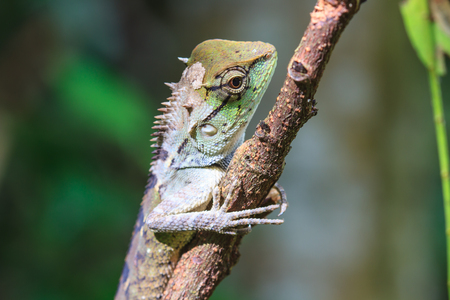 jaszczurka: Zielona grzebieniasta jaszczurka, czarna twarz jaszczurka, drzewo jaszczurka na drzewie Zdjęcie Seryjne