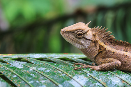 lagartija: Lagarto con cresta verde, cara negro lagarto, lagarto de �rbol en �rbol Foto de archivo