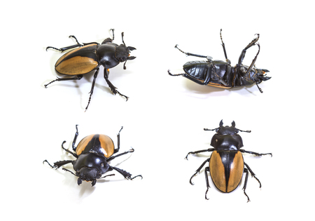 hexapoda: set of  bug in genus Odontolabis on white background