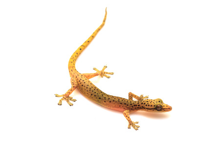 reptilian: Gecko lizard from trpical forest isolated on white background, Hemiphyllodactylus sp