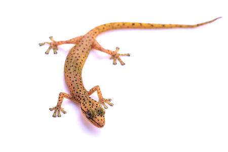 lagartija: Gecko lagarto del bosque trpical aislado en el fondo blanco, hemiphyllodactylus sp