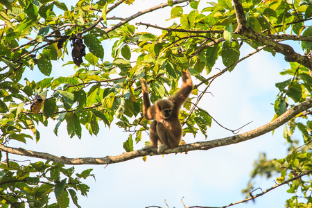 biped: white hand  gibbon sitting on a trees branch in forest