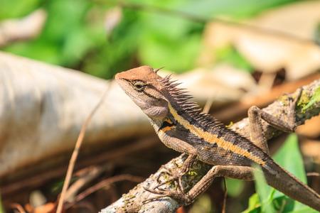 jaszczurka: Green crested lizard, black face lizard, tree lizard on tree