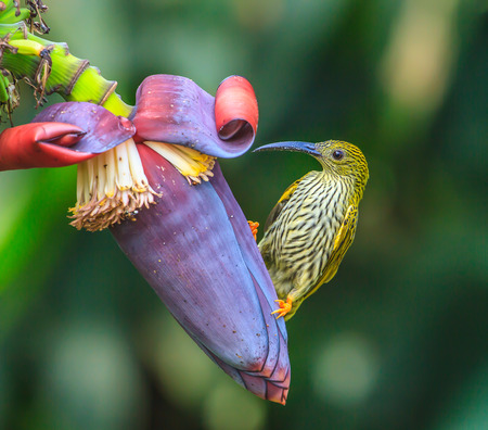 streaked: Streaked Spiderhunter bird with  flower and taking a syrup Stock Photo