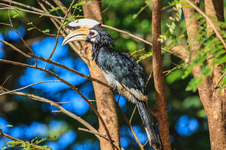 endanger: Portrait of Oriental pied hornbill (Anthracoceros albirostris) on the branch in nature Stock Photo