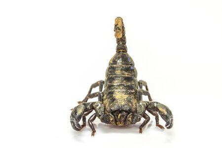 imperator: close up Scorpion ( Pandinus imperator) on white background