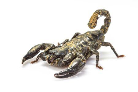 primitivism: close up Scorpion ( Pandinus imperator) on white background