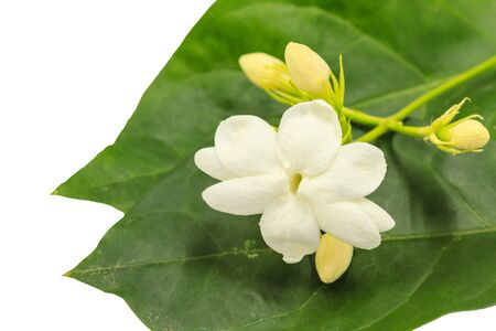 close uo: close uo white jasmine flower on background