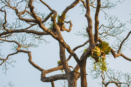 tropical native fern: Crown Staghorn on tree or Indian Staghorn Fern,Disk Staghorn, Platycerium coronarium