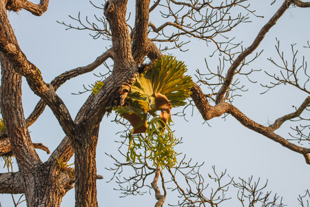epipetric: Crown Staghorn on tree or Indian Staghorn Fern,Disk Staghorn, Platycerium coronarium