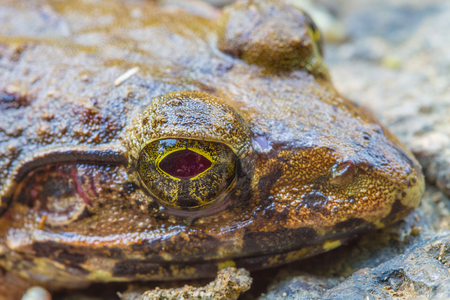 callidryas: Closeup of Asian River Frog or Giant Asian River Frog in forest Stock Photo