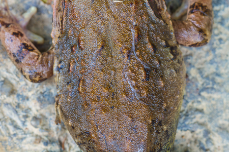 callidryas: Closeup skin of Asian River Frog or Giant Asian River Frog in forest